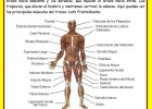 El sistema muscular | Recurso educativo 46682