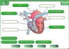 El corazon | Recurso educativo 47707