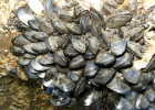 Guide to mussels | Recurso educativo 730136